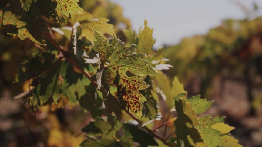 Copper Cane behind the name - closeup shot of late season grape vines
