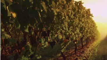 Elouan pinot noir - morning close up shot of vineyard grapes
